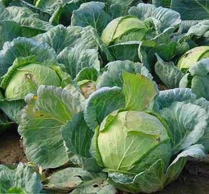 Как самостоятельно вырастить капусту белокочанную в открытом грунте