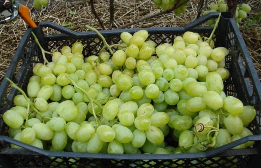 Как сохранить урожай винограда сорта Лора
