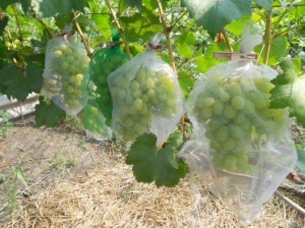 Как спасти виноград Лора от ос-вредителей