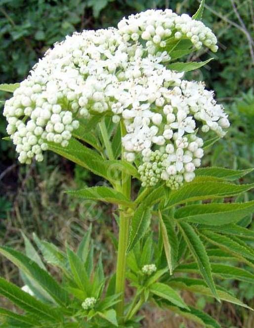 Как цветет растение бузина травянистая