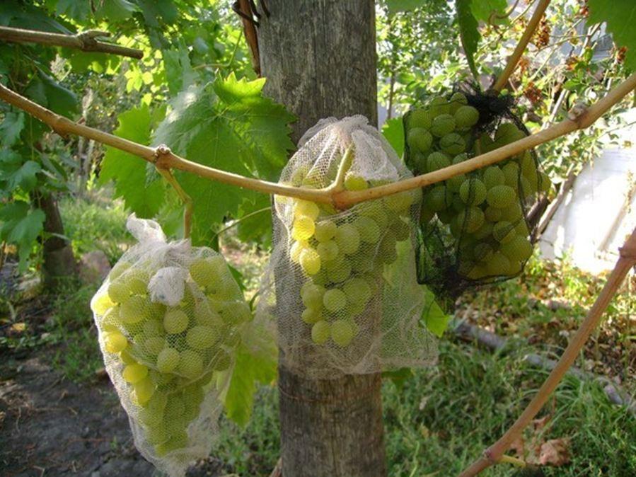 Как уберечь виноград от ос - использование сетки
