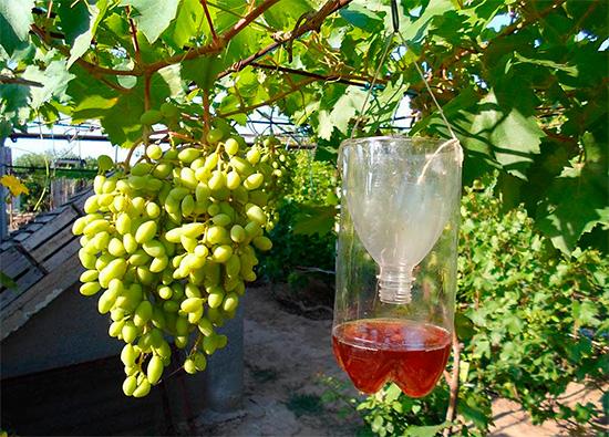 Как уберечь виноград от ос - ловушка для насекомых из пластиковой бутылки