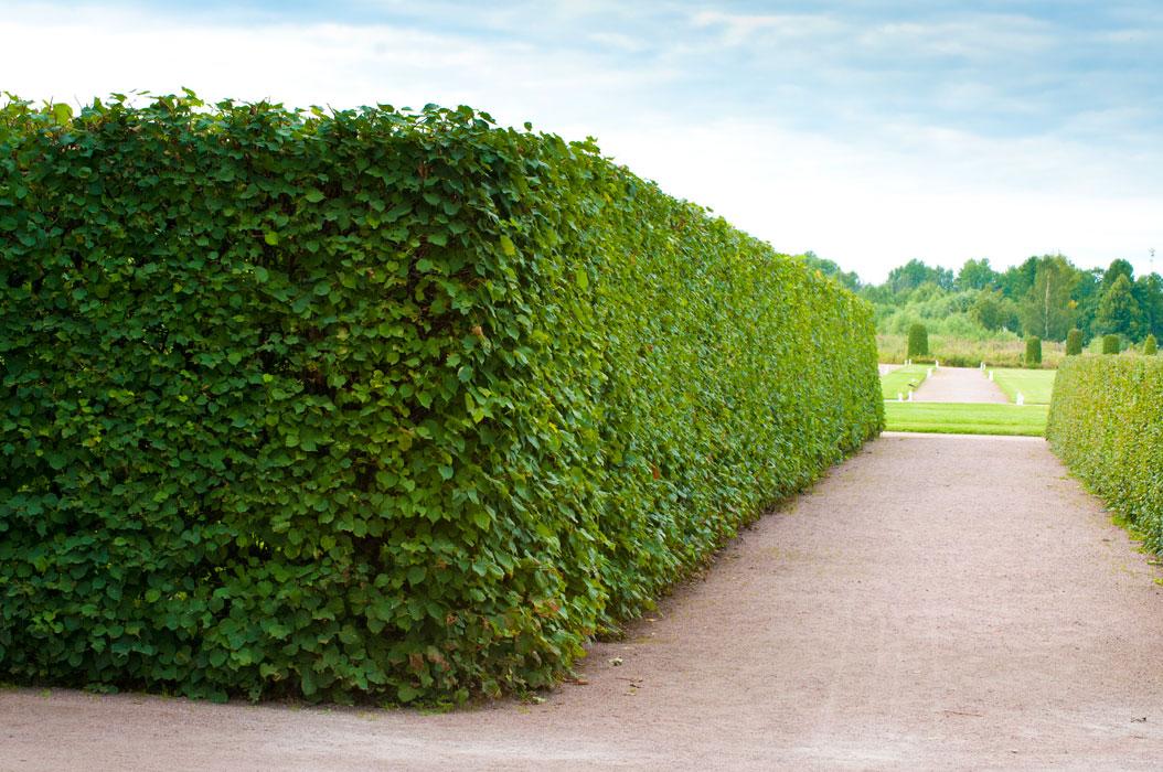 Как самостоятельно ухаживать за живой изгородью из боярышника