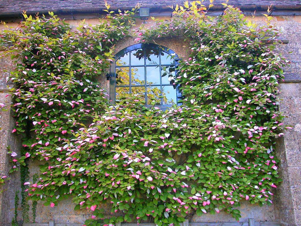 Как украсить загородный дом с помощью лианы актинидии дальневосточной