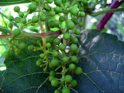 Как устранить причины горошения винограда
