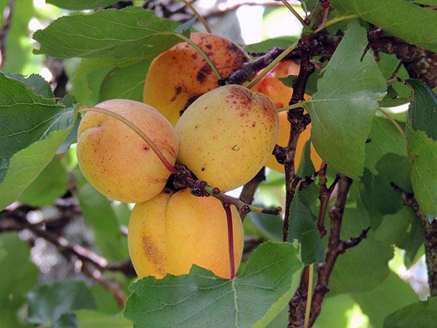 Как устранить причины образования коричневых пятен на абрикосе
