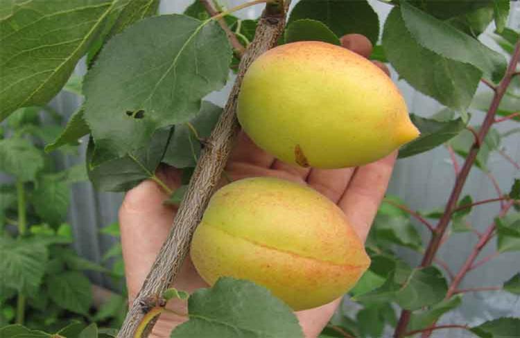 Как увеличить урожайность абрикоса сорта Академик