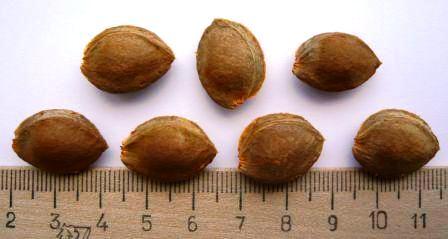 Как выбрать косточки абрикоса для посадки в грунт