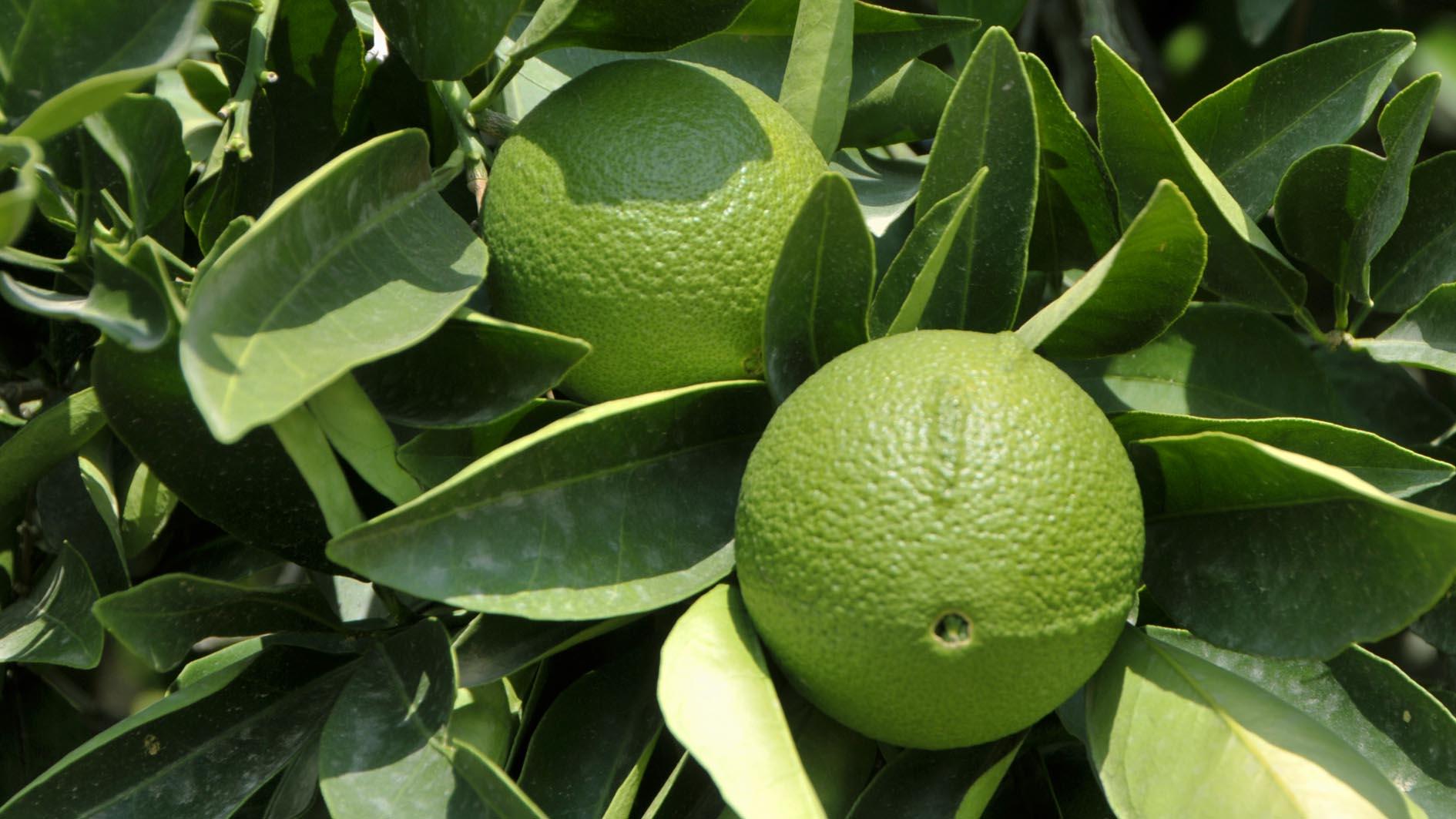 Как выглядят плоды бергамота