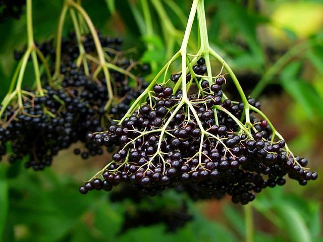 Как выглядят ягоды бузины черной