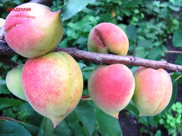 Как вырастить абрикосовое дерево сорта Академик на садовом участке