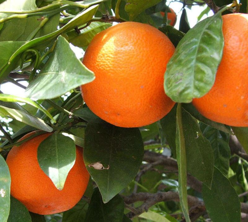 Как вырастить апельсин из косточки - пошаговая инструкция
