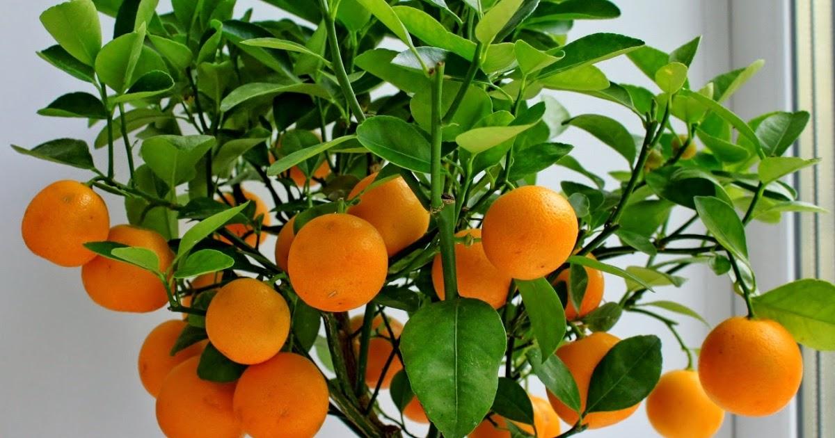 Как вырастить апельсин из косточки своими руками