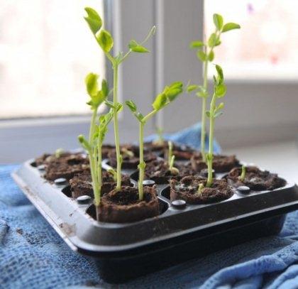 Как вырастить деревце из апельсиновой косточки в домашних условиях