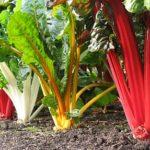 Мангольд выращивание и уход