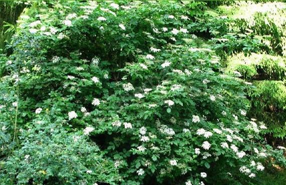 Как вырастить на дачном участке растение бузину