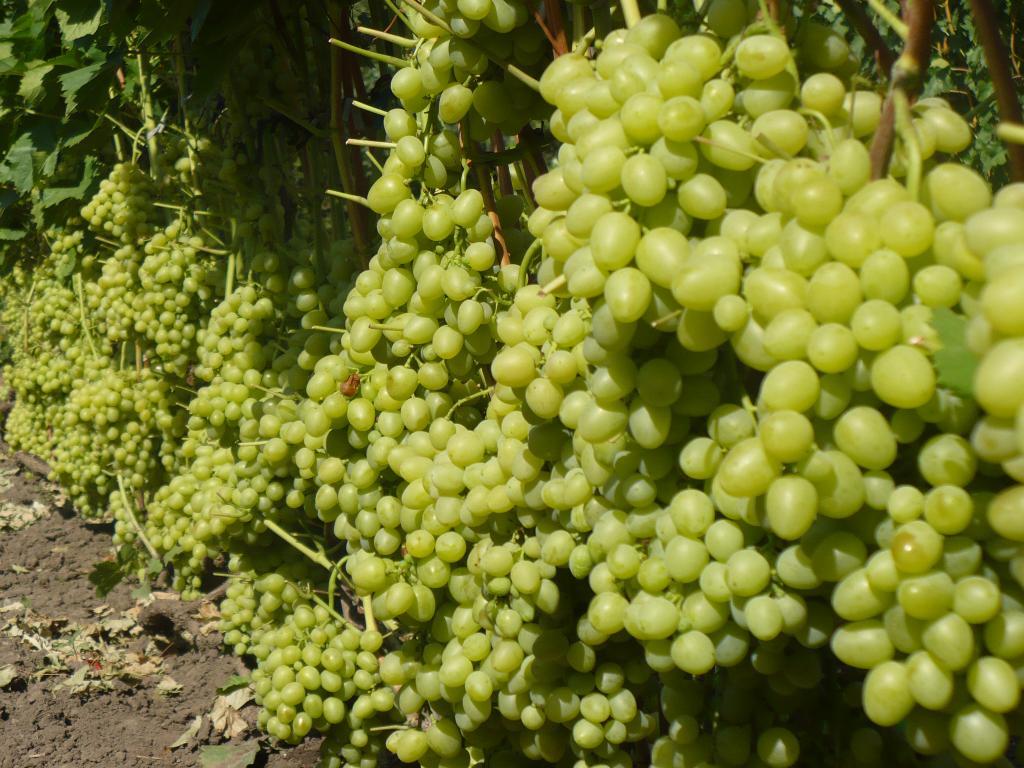 Как вырастить виноград Аркадия на дачном участке