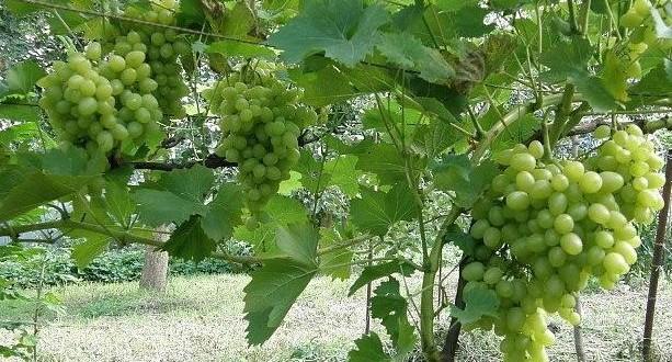 Как вырастить виноград Лора на даче своими руками