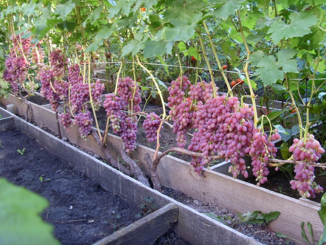 Как вырастить виноград велес на загородном участке