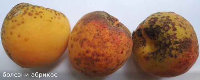Какие заболевания абрикос приводят к образованию коричневых пятен