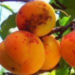 Почему на абрикосах коричневые пятна