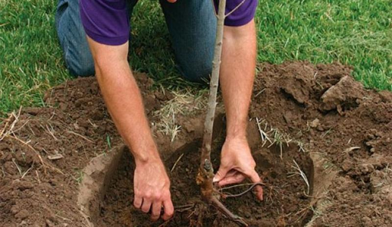 Когда и как сажать абрикос в различных климатических условиях