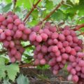 Когда созревает виноград «Анюта»