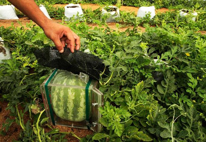 Конструкция для выращивания арбуза квадратной формы