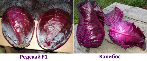Краснокочанная капуста выращивание и уход - сорта Редскай F1 и Калибос