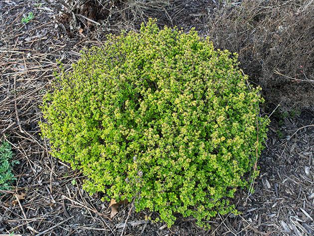 Куст барбариса на загородном участке