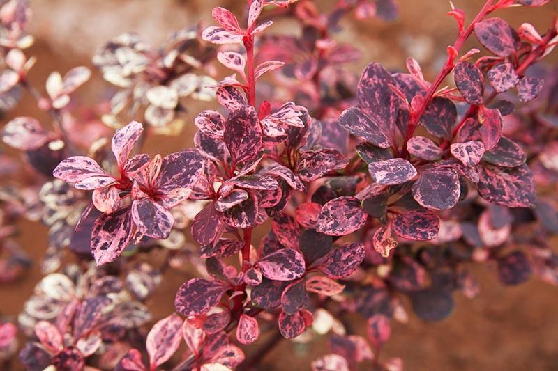 Кустарник с кроной необычного цвета - барбарис Арлекин