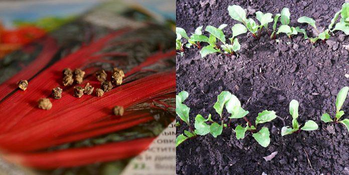 Мангольд выращивание и уход - молодые ростки свеклы