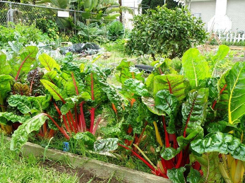 Мангольд выращивание и уход - полезные свойства растения