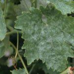 Обработка винограда пищевой содой
