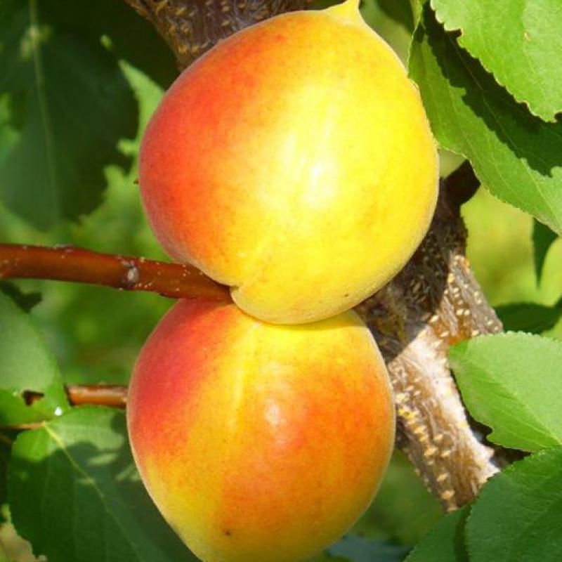 Особенности выращивания абрикоса Академик в холодном климате