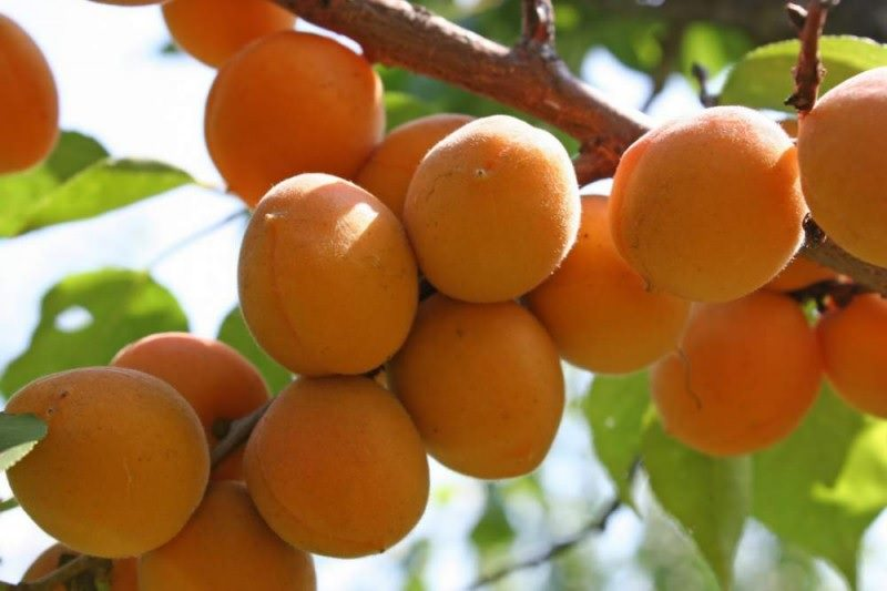 Особенности выращивания и характиристика сорта абрикоса чемпион севера