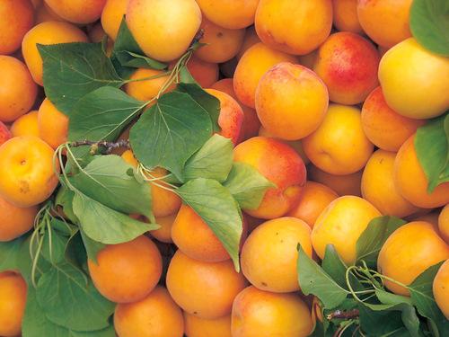 Плоды абрикоса чемпион севера выращенные на даче