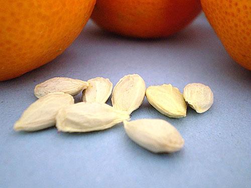 Поддержание влаги в косточках апельсина для посадки