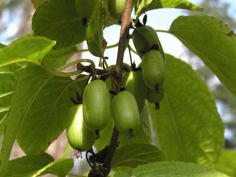 Полезные свойства плодов актинидии дальневосточной