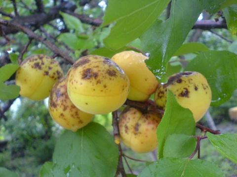 Поражение абрикоса паршей