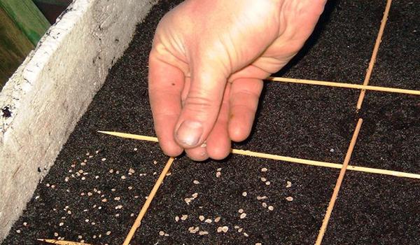 Посев семян капусты белокочанной в грунт для получения рассады
