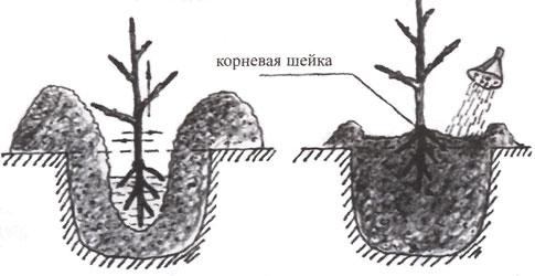 Пошаговая инструкция как пересадить абрикос на другое место