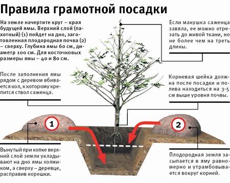 Правила грамотной посадка дерева абрикоса