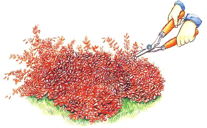Правила обрезки куста барбариса