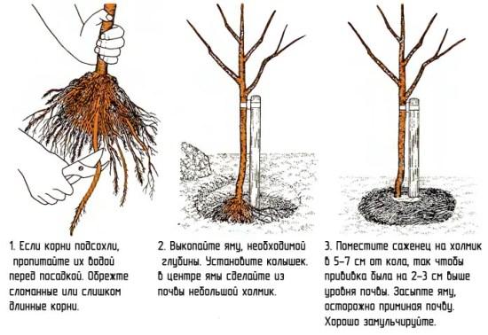 Правила пересадки дерева абрикоса