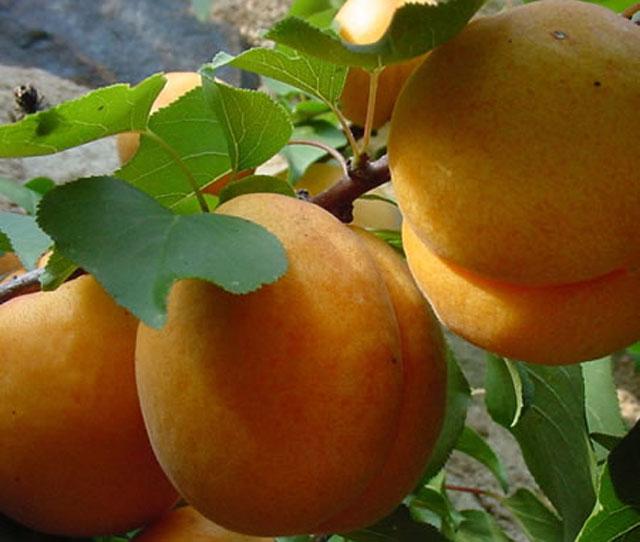 Правила посадки и ухода за деревом абрикоса чемпион севера для получения крупных плодов