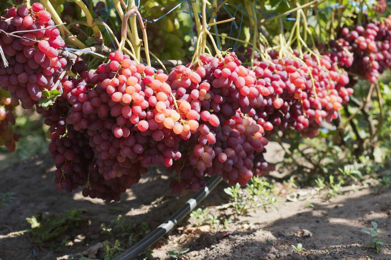 Правила посадки и ухода за виноградом сорта велес