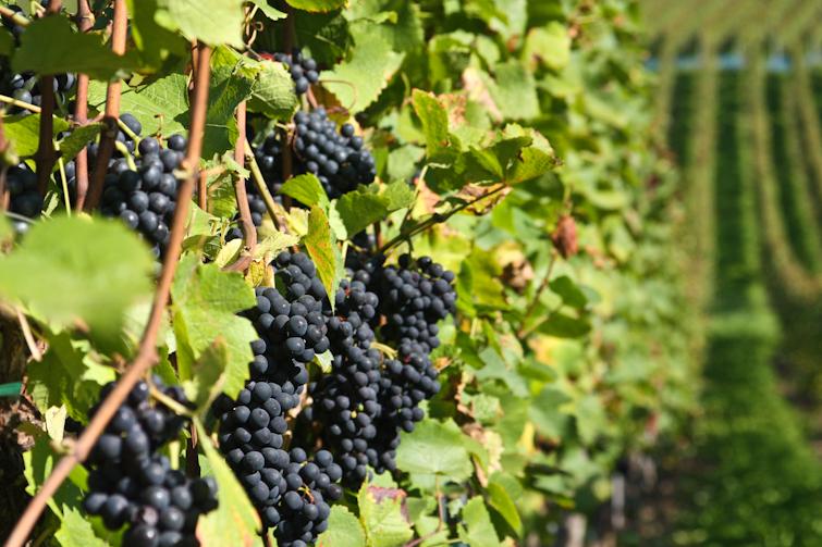 Причины горошения домашнего винограда