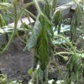 Причины увядания листьев арбуза