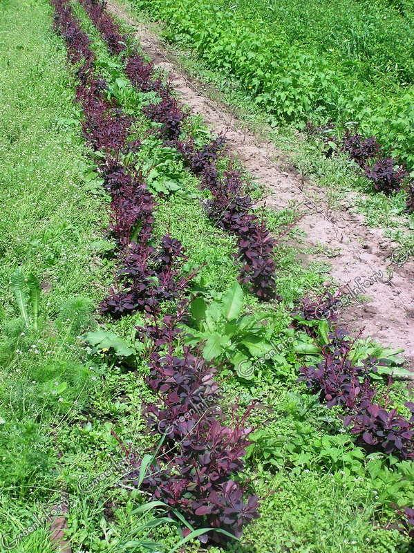 Размножение и выращивание барбариса в домашних условиях